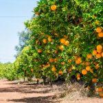 orange-tree-cultivation