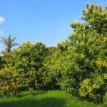 How-to-setup-natural-farm-tourism-site-mango-farm